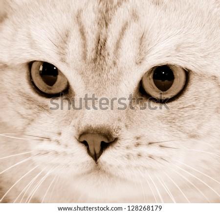 Portrait of purebred cat close-up . Sepia - stock photo