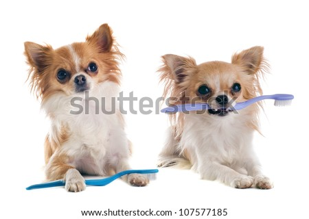 portrait of  purebred  chihuahuas with toothbrush  in front of white background - stock photo