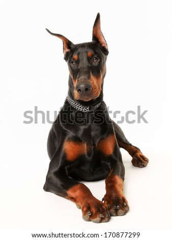 Portrait of purebred doberman facing the camera.