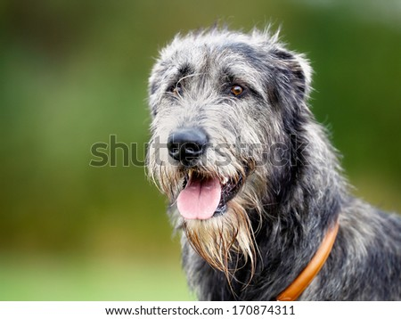 Portrait of purebred scottish wolfhound facing the camera.