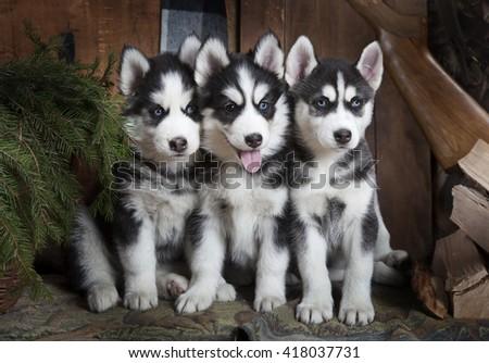 Portrait of purebred Siberian Husky puppies indoors - stock photo
