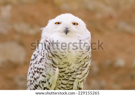 Portrait of quiet predator wild bird snowy white owl staring at camera lens with yellow eyes - stock photo