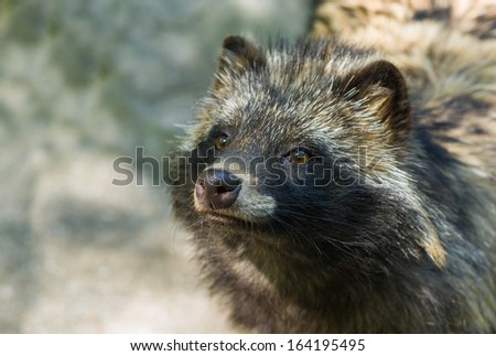 Portrait of raccoon dog hypnotizing visitors for to get unscheduled lunch.