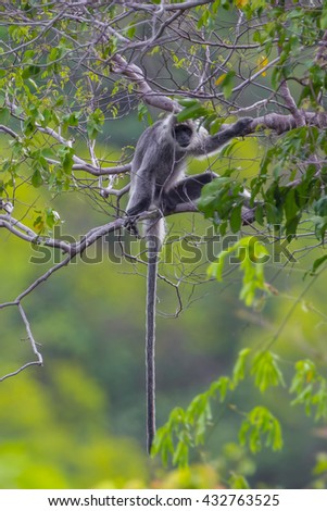 Portrait of  rare Silvered Langur (Presbytis cristatus ) on the tree in real nature in Thailand