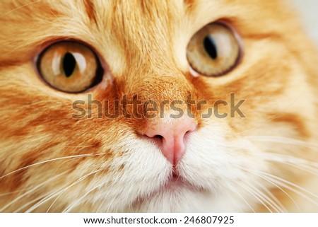 Portrait of red cat, closeup - stock photo