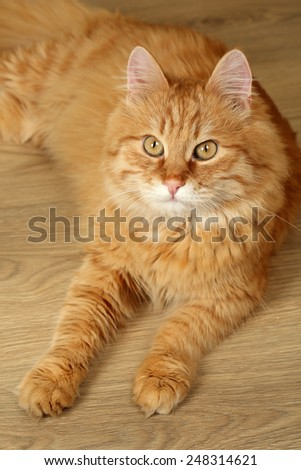 Portrait of red cat on wooden floor background - stock photo