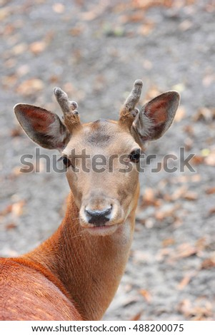 Portrait of red deer in the forest