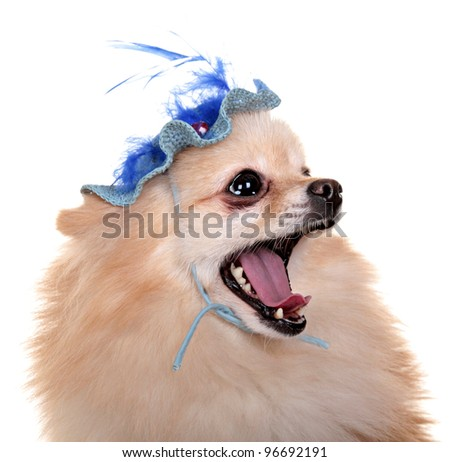 portrait of red dog in the blue hat. His mouth open and tongue protruding. Isolated on a white background. - stock photo