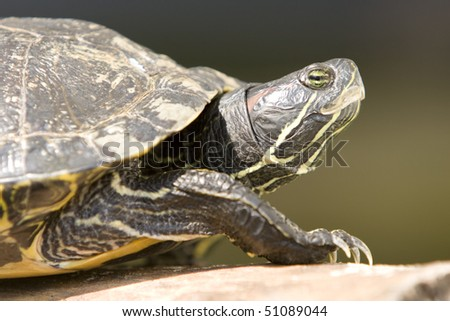 Portrait of Red Eared Turtle (Trachemys scripta elegans) at wildlife. Focus on eyes - stock photo