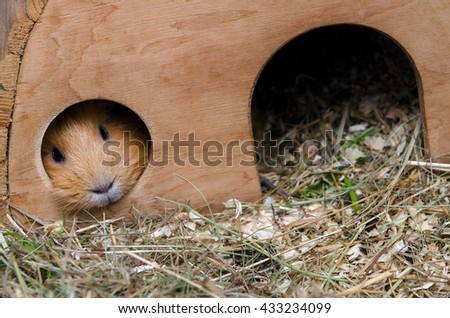 Portrait of red guinea pig. - stock photo