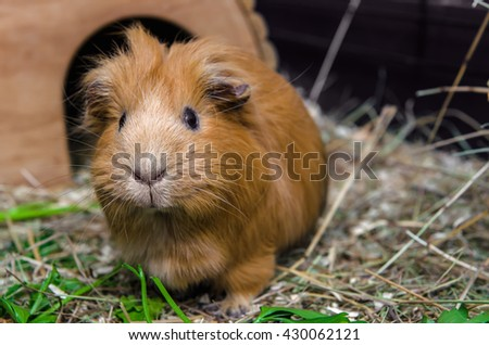 Portrait of red guinea pig. Close up. - stock photo