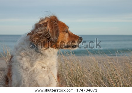 portrait of red haired dog in long grass  on a dune at a beach  - stock photo