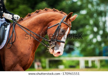 Portrait of red horse in dressage competition - stock photo