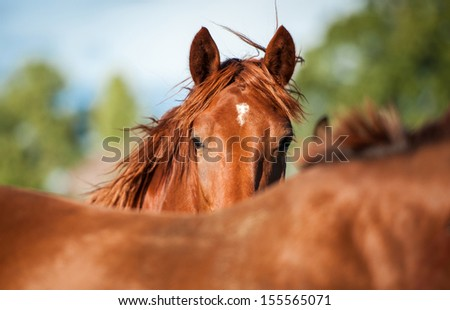 Portrait of red horse in summer - stock photo