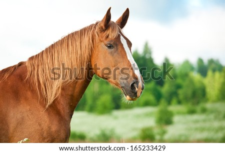 Portrait of red horse in summer