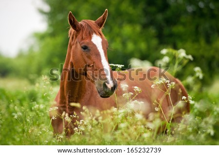 Portrait of red horse on field with flowers - stock photo
