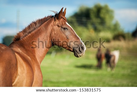 Portrait of red horse on the pasture - stock photo