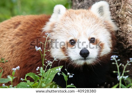 Portrait of red panda - stock photo
