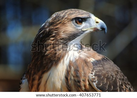 Portrait of Red-Tailed Hawk - stock photo
