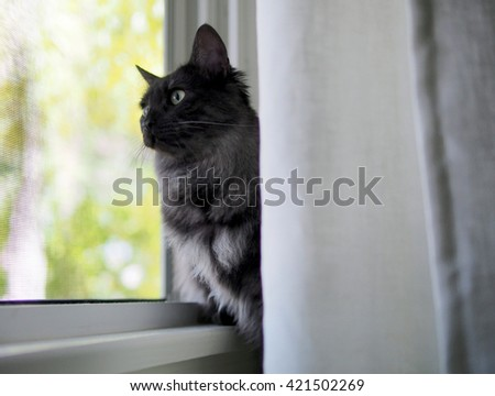 Portrait of Regal Long Haired Grey Black Maine Coon Cat Sitting by Window Staring Out - stock photo