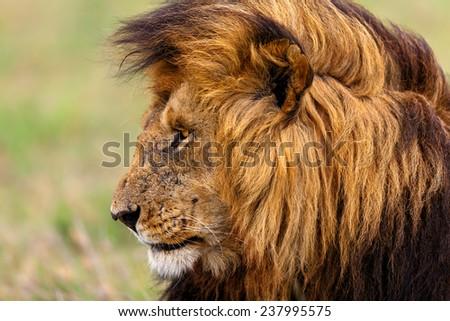 Portrait of Rekero Lion Lipstick in Masai Mara, Kenya - stock photo