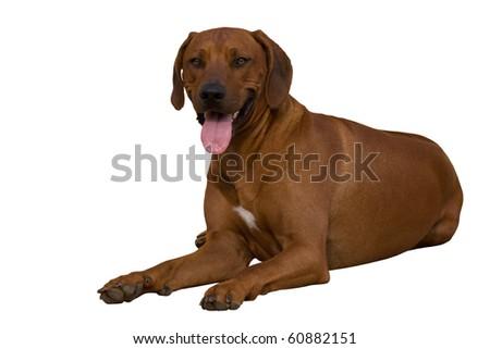Portrait of rhodesian ridgeback on white background - stock photo