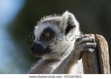 Portrait of ring-tail lemur. - stock photo
