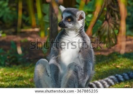 Portrait of Ring-tailed lemur (Lemur catta) on nature background - stock photo