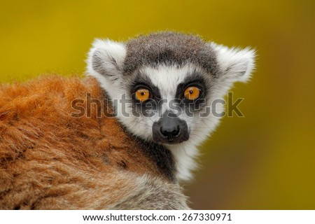Portrait of  Ring-tailed Lemur, Lemur catta, with yellow clear background - stock photo