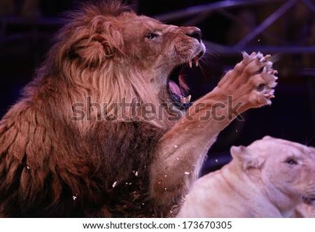 Portrait of roaring male lion - stock photo