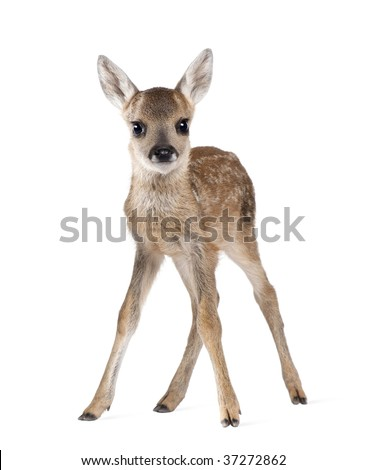 Portrait of Roe Deer Fawn, Capreolus capreolus, 15 days old, standing against white background, studio shot - stock photo