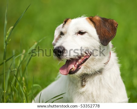 portrait of rough coated Jack Russell Terrier