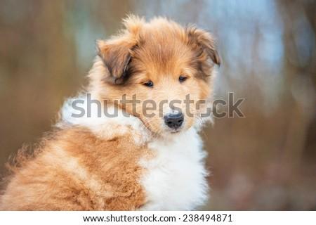 Portrait of rough collie puppy  - stock photo