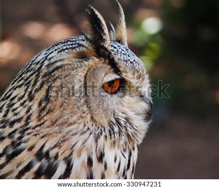 Portrait of royal owl with orange eyes - stock photo