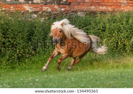 Portrait of running minishetland stallion - stock photo