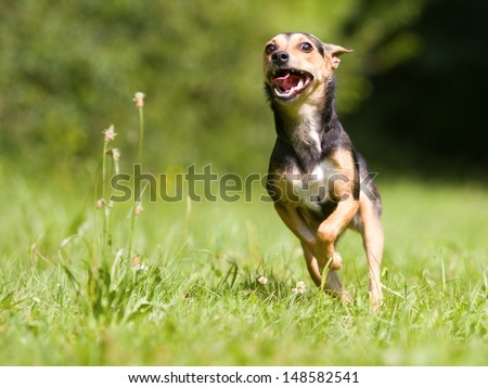 Portrait of running small mixed breed dog - stock photo
