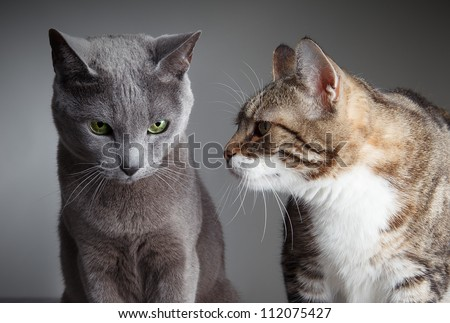 Portrait of Russian Blue and Three-Colored Housecat