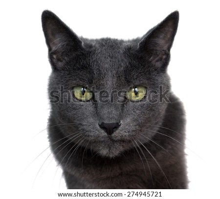 Portrait of Russian Blue cat on white background. - stock photo