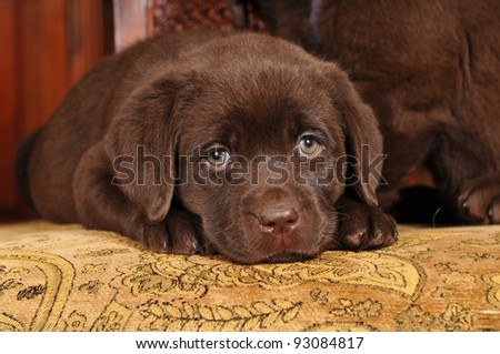Portrait of sad brown labrador puppy lying on textile chair and looking at camera
