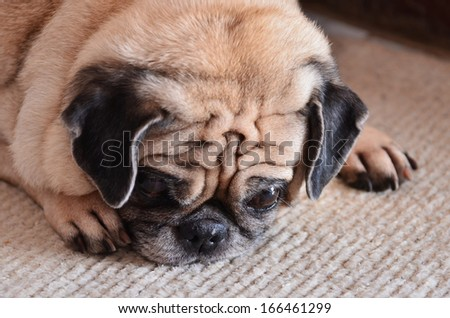 Portrait of sad purebred pug dog