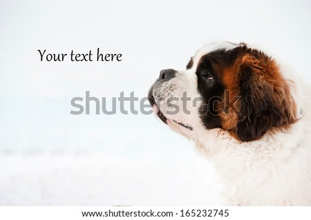 "Portrait of saint bernard dog on white background with ""your text here"" writing  - stock photo"