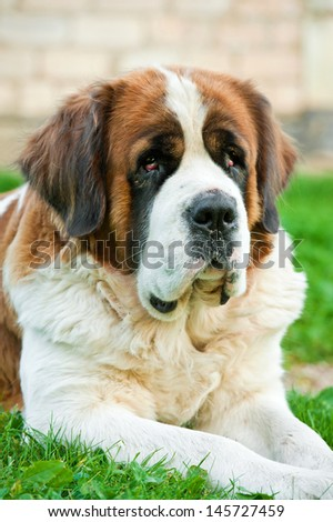 Portrait of saint bernard lying on the grass - stock photo
