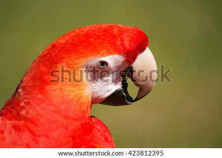 Portrait of Scarlet Macaw, latin called Ara macao.