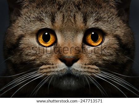 Portrait of Scottish Straight cat close-up on a black background - stock photo