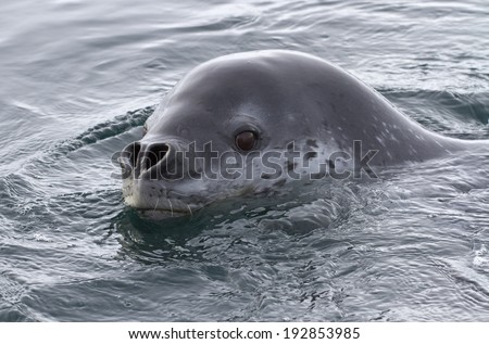 Portrait of sea leopard which floats along the Antarctic island summer day. - stock photo