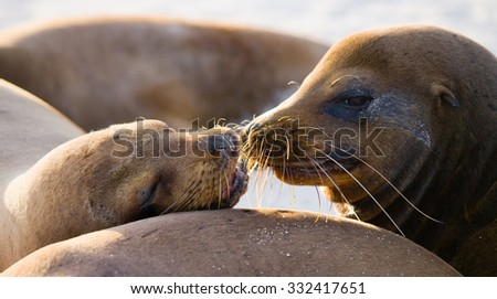Portrait of sea lions lying on the sand in the Galapagos. Islands. An excellent illustration. Close-up. - stock photo