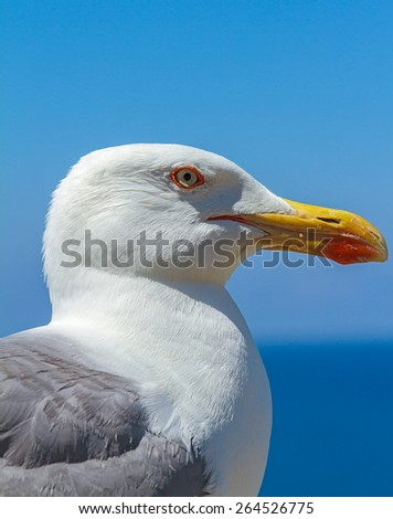 portrait of seagull, in a sunny day, in the beautiful beaches of the 'island of Elba
