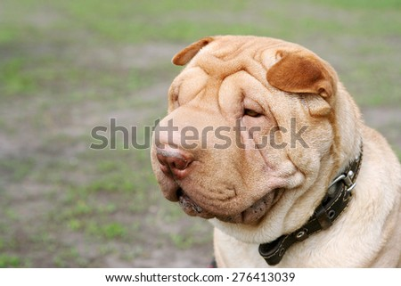 portrait of shar-pei,chinese dog, close up, outdoor, horizontal orientation - stock photo