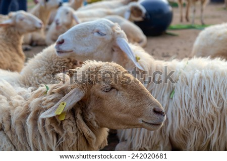 Portrait of sheep in farm.