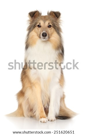 Portrait of Shetland Sheepdog on white background - stock photo